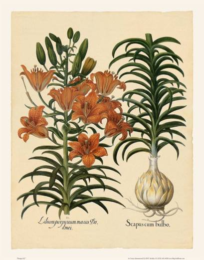 lily bulb botanical print flower crin floare